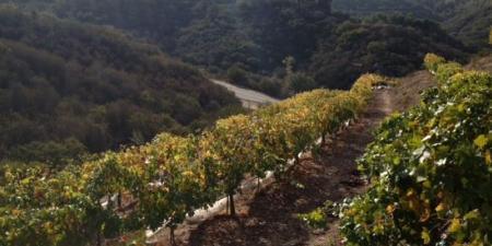 Sblendorio Winery Vines